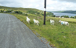 Four legged, wooly pedestrians, a frequent road hazzard on Skye