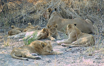 Image of lions from 2017 trip to Botswana
