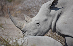 Close up of rhino with notched ear visible